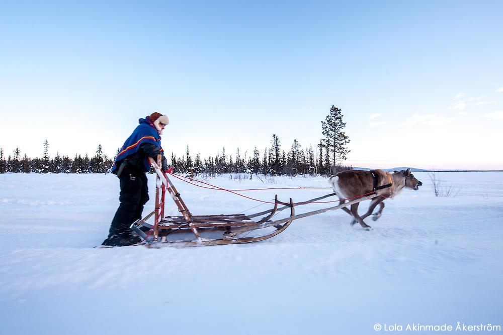 Reindeer sledding across frozen River Torne