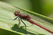 Closeup of the head and thorax of a male  large red damselfly next to the River Otter in Devon.