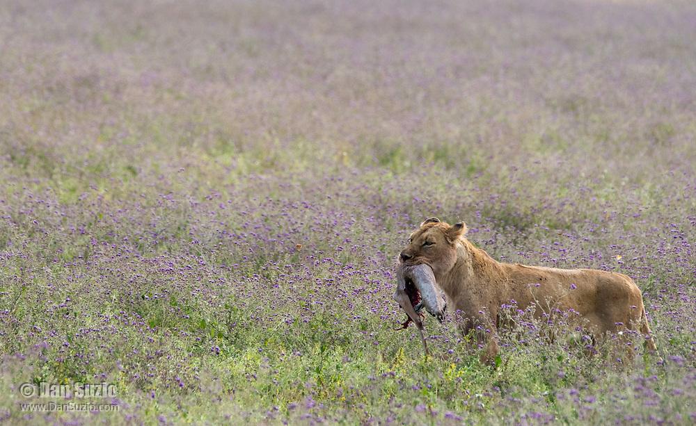 A female Lion, Panthera leo  melanochaita, carries the remains of a Thomson's Gazelle, Eudorcus thomsonii, in Ngorongoro Crater, Ngorongoro Conservation Area, Tanzania