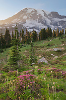 Wildflower meadows of Paradise containing  a mixture of Pink Mountain Heather and Western Anenomes. Mount  Rainier National Park, Washington