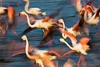 Greater Flamingos (Phoenicopterus roseus) taking off from lagoon, Camargue, France