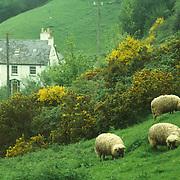 Sheep grazing on fresh spring meadow
