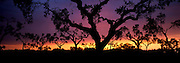 SPAIN, ANDALUSIA Cork trees at sunset near the Portuguese border north of Huelva