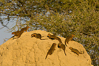 Dwarf mongooses on a termite mound, Tarangire National Park, Tanzania