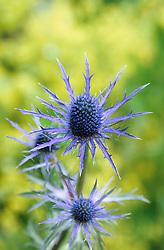 Eryngium x zabelii 'Violetta'<br /> Sea holly