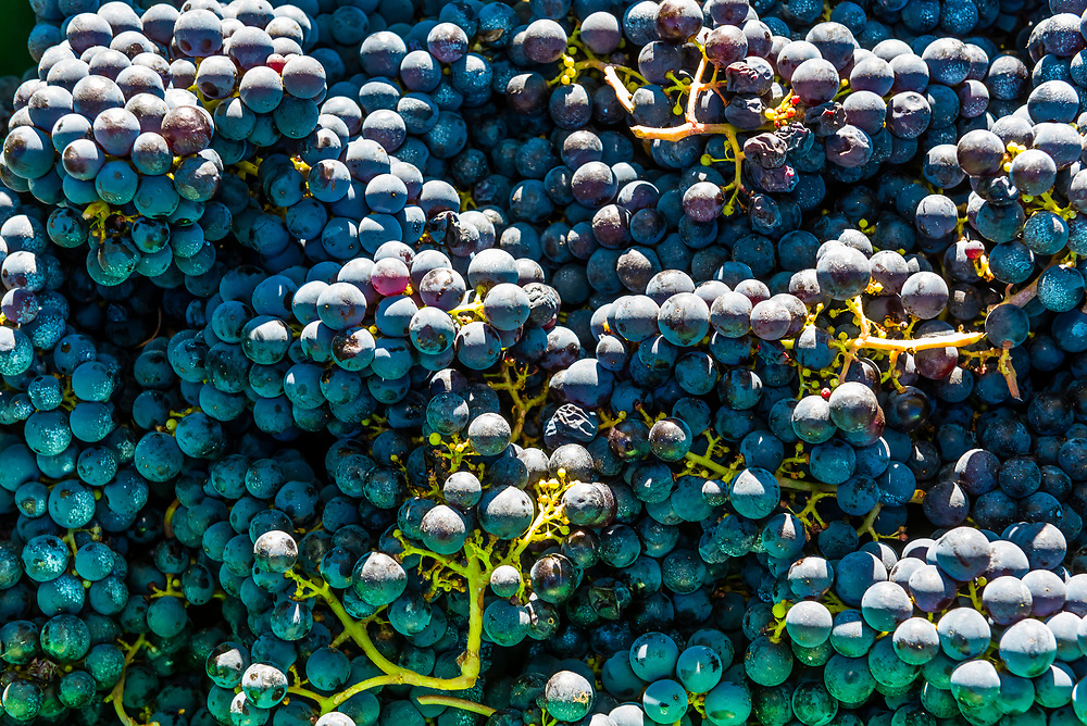 Just picked Merlot grapes, during the wine harvest at Delaire Graff Wine Estate atop Helshoogte Pass, near Stellenbosch, Cape Winelands (near Cape Town), South Africa.