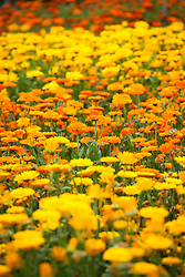 Rows of marigolds. Tagetes