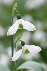 Galanthus elwesii 'Green Tip'