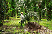 A smallholder palm oil farmer stacks palm fronds on his small family plot in Beluran District, Sabah, Malaysia, on 10 September 2016. The family has been able to increase their yields since becoming part of the Wild Asia Group scheme, which works with the Roundtable on Sustainable Palm Oil to support Malaysian smallholders to become certified sustainable. This includes improving farm management, reducing their use of pesticides and fertilizers, and increasing yields. The lush ground cover and neatly stacked fronds on this plot is a sign of good farm management. Smallholders account for 40% of global palm oil production, and as such play an important role in increasing sustainability within the industry.