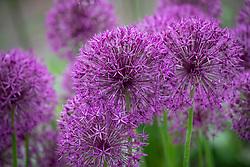 Allium 'Purple Rain' AGM