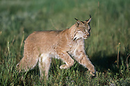 Lynx running in meadow (This animal was born and raised in captivity, photographed in an outdoor setting in Idaho.) © David A. Ponton