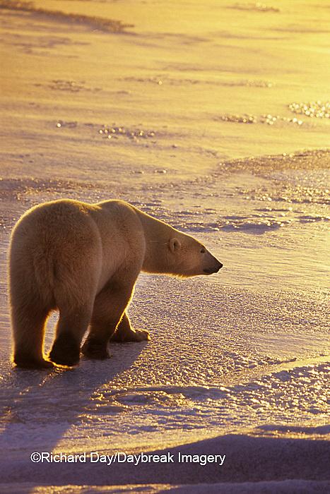 01874-01509 Polar Bear (Ursus maritimus)  walking on frozen pond at sunset Churchill  MB