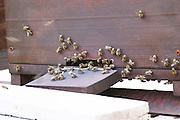 A bee hive beehive in the garden. Detail of entrance with bees flying in and out. Durovic Jovo Winery, Dupilo village, wine region south of Podgorica. Vukovici Durovic Jovo Winery near Dupilo. Montenegro, Balkan, Europe.
