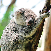 Koalas at Taronga Zoo