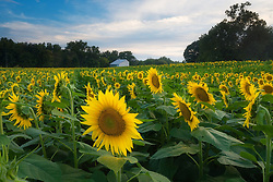 August 14, 2017 - USA - Tens of thousands of tourists make their way to the 40-acre sunflower field owned by Grinter Farms in rural Leavenworth County in September 2016. Music: ''Ranz des Vaches'' Kevin MacLeod / CC BY 3.0  (Credit Image: © Beccy Tanner/TNS via ZUMA Wire)