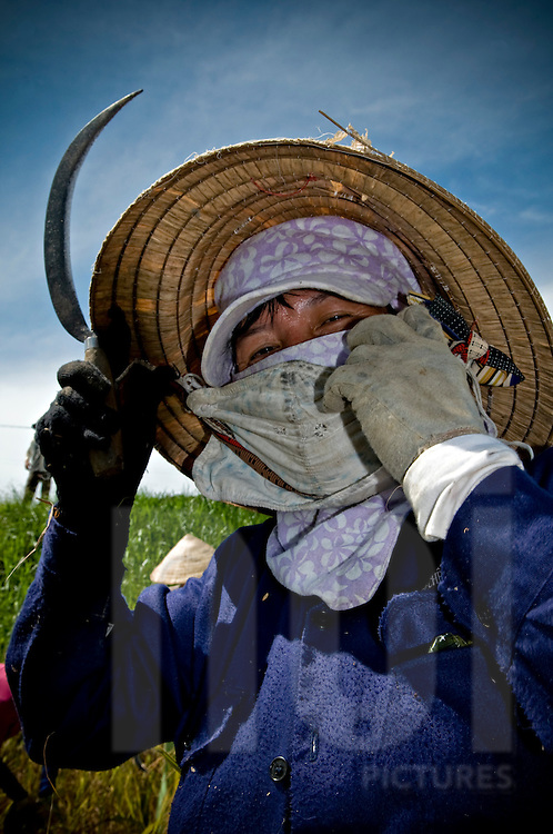 a vietnamese female farmer harvests rice in a field of Kanh Hoa province, Vietnam, Asia. She holds a sickle and looks straight at the camera