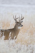 Wyoming whitetail buck in snow during rut