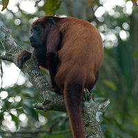 A Howler Monkey perches in a tree at Pilpintuwasi Butterfly Farm and Amazon Animal Orphange near Iquitos, Peru.