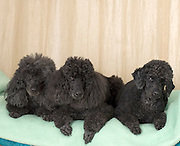 3 black miniature poodles facing camera lying down. Property release available