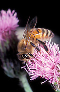 A honey bee (Apis mellifera) worker nectaring on a garden flower. This serves the plant by pollinating the species, and bee colony by providing food stores.