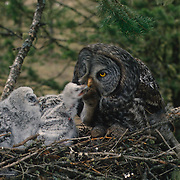 Adult great gray owl feeding rodent to chicks in nest in an old growth forest during spring in Montana.