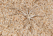 Philodromus fallax (Philodromodae) - Female. Demonstrating very cryptic colouration on sand. Yellow and fore dune specialist.