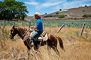 A farm worker rides past blue agave fields belonging to the Orendain family.