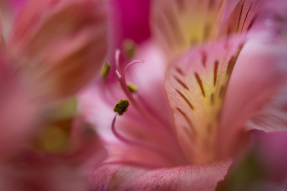 Macro floral image of pink flowers.