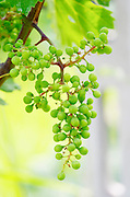 Unripe grapes. Cabernet Franc. Kir-Yianni Winery, Yianakohori, Naoussa, Macedonia, Greece