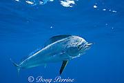 dorado, mahi mahi, or dolphin fish, Coryphaena hippurus, eating a piece of bait, off Isla Mujeres, near Cancun, Yucatan Peninsula, Mexico ( Caribbean Sea )