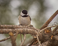 Black-capped Chickadee. Image taken with a Nikon D2xs camera and 80-400 mm VR lens (ISO 100, 400 mm, f/6.3, 1/160 sec).