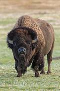 Mature bull bison (buffalo) in prairie habitat