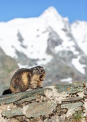 THEMENBILD - ein Murmeltier auf der Grossglockner Hochalpenstrasse, dahinter der Grossglockner, Heiligenblut, Oesterreich, aufgenommen am 31. Juli 2015 // a Marmot in Front of the Grossglockner Mountain on the Grossglockner High Alpine Road, Heiligenblut, Austria on 2015/07/31. EXPA Pictures © 2015, PhotoCredit: EXPA/ JFK