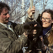 Black Bear, (Ursus americanus) Minnesota, Dave Garshelis and Pam Coy weigh and measure cub for research data.