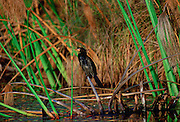 A long-tailed Cormorant bird perched on papyrus, Okavango Delta, Botswana, Africa