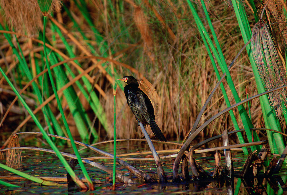A long-tailed Cormorant bird perched on papyrus, Okavango Delta, Botswana, Africa