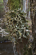 A large foliose lichen Lungwort (Lobaria pulmonaria) growing on tree bark right next to river Amata, Vidzeme, Latvia Ⓒ Davis Ulands | davisulands.com