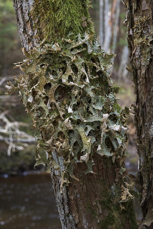 A large foliose lichen Lungwort (Lobaria pulmonaria) growing on tree bark right next to river Amata, Vidzeme, Latvia Ⓒ Davis Ulands | davisulands.com