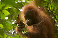 Young female Bornean Orangutan feeding on ants from an ant nest among dead leaves.<br /><br /><br />Walima