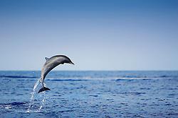 Pantropical Spotted Dolphin, Stenella attenuata, leaping, off Kona Coast, Big Island, Hawaii, Pacific Ocean