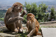 A monkey mother and baby at the Swayambhunath temple complex, also called the Monkey Temple.