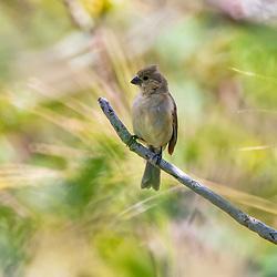 Coleirinho (Sporophila caerulescens) fotografado no Parque Nacional da Chapada dos Veadeiros - Goiás. Bioma Cerrado. Registro feito em 2015.<br /> ⠀<br /> ⠀<br /> <br /> <br /> <br /> <br /> <br /> ENGLISH: Double-collared Seedeater photographed in Chapada dos Veadeiros National Park - Goias. Cerrado Biome. Picture made in 2015.
