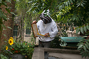 Beekeeper Ian Bailey collecting honey from his hives on a roof at Hackney City Farm. Ian has several apiaries around East London. Keeping bees is a growing hobby in London and the hives and apiaries can be found in back gardens and roof tops across the capital.