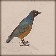 Digitally enhanced image of a Superb Starling (Lamprotornis superbus) Photographed at the Samburu National Reserve, Kenya in February