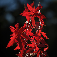 Red Maple leaves in Autumn