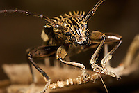A close-up of a longhorn beetle.