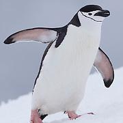 Close up of Chinstrap penguin along bay. Half Moon Island. Antarctica.