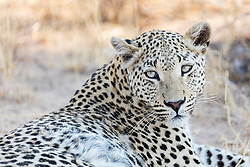 Leopard relaxing at Okonjima Nature Reserve, Namibia, Africa