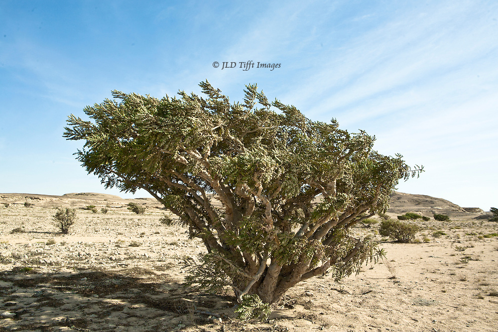 A frankincense tree alone in the Arabian desert, where in ancient times the frankincense trade plied from the Arabian sea to the Mediterranean.