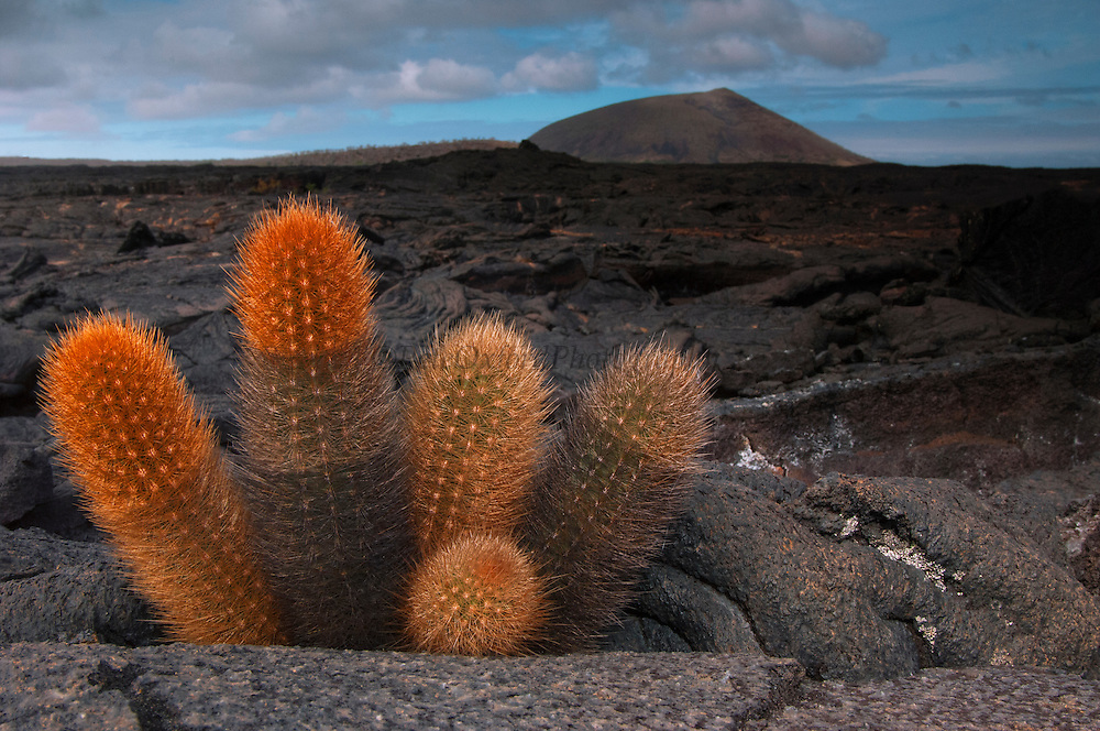 Lava Cactus (Brachycereus nesioticus)<br /> Santiago Island, GALAPAGOS ISLANDS<br /> ECUADOR.  South America<br /> This plant grows in the arid zone which consists of lava, ash and cinder and where only plants able to exist with little moisture can survive. Here temperatures soar up to 30 degrees Celcius. A high proportion of endemic plants have evolved under these harsh conditions in this zone. The lava cactus is a slow-growing herb which creates its own humus from dead cylindrical stems. It is a typical 'pioneer' plant that grows on barren lava flows.<br /> ENDEMIC TO GALAPAGOS